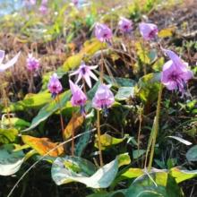 荒川白花カタクリの画像