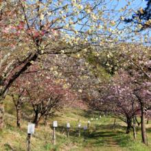 通り抜けの桜の画像