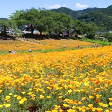 花の里ハナビシソウ園の画像