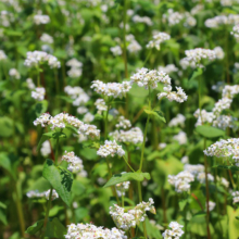 ちちぶ花見の里 そばの花の画像