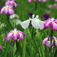 両神花しょうぶ園の画像