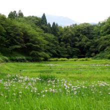 羊山公園花菖蒲の画像
