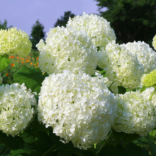 花の里アナベルの画像