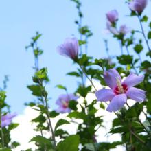 ムクゲ自然公園 ムクゲの画像