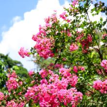 ムクゲ自然公園 サルスベリの画像
