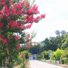 吉田サルスベリ街道