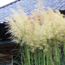 長瀞秋の七草尾花の画像