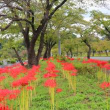 秩父聖地公園ヒガンバナの画像
