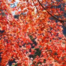 長瀞紅葉 寶登山神社の画像