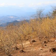 宝登山四季の丘ロウバイの画像