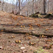 ムクゲ自然公園秩父紅の画像