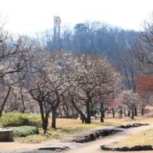 秩父ミューズパーク 梅園の画像