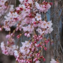 法善寺しだれ桜の画像