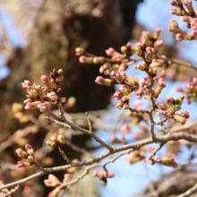 宝登山参道桜並木の画像