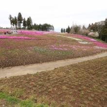 芝桜の丘の画像