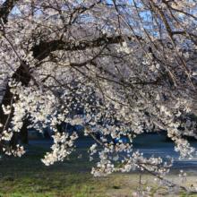 岩田の桜画像