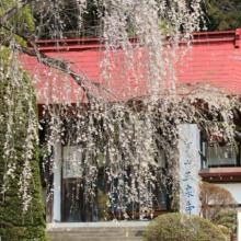 寶登山神社のしだれ桜
