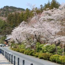 寶登山神社の桜