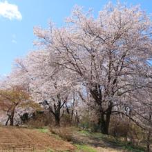 野土山の桜の画像