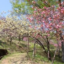 長瀞通り抜けの桜の画像