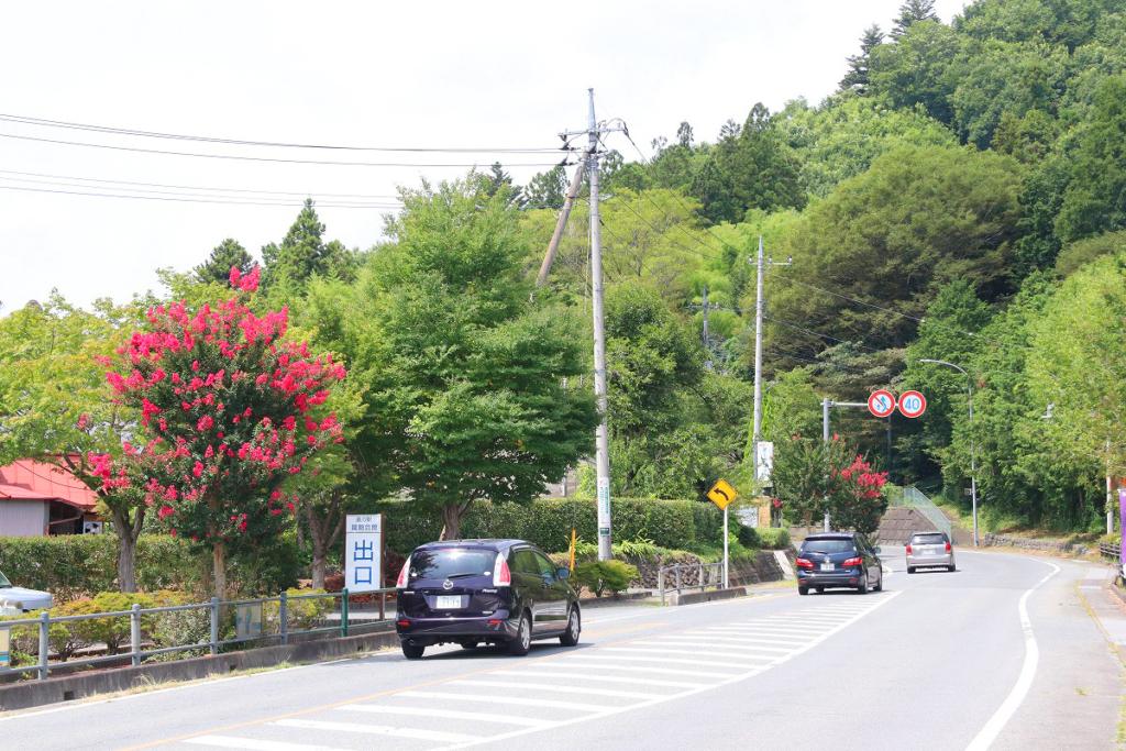 サルスベリ街道の画像