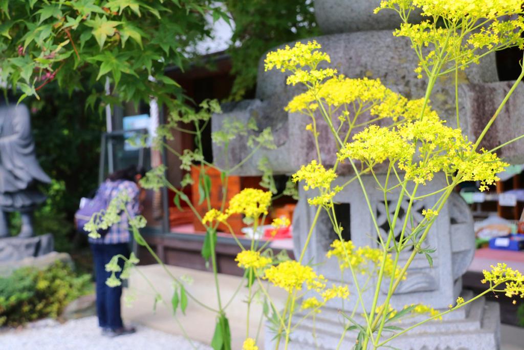長瀞七草寺女郎花の画像