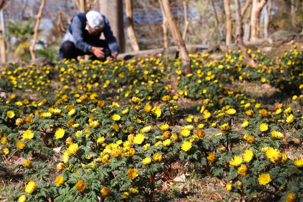 ムクゲ自然公園福寿草の画像