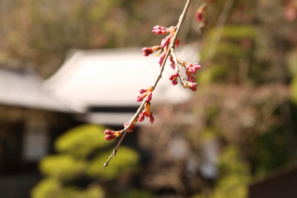 寶登山神社桜の画像