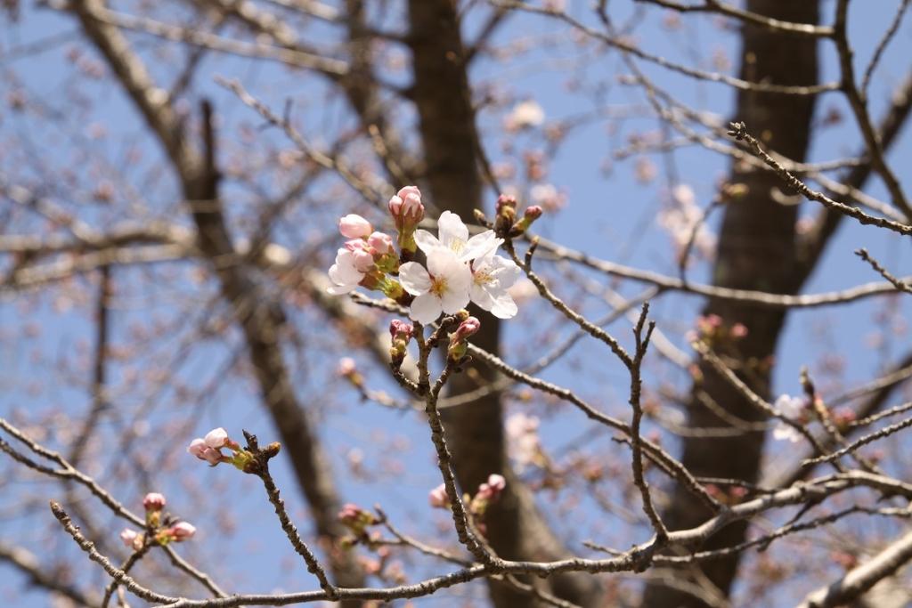 井戸の桜並木の画像