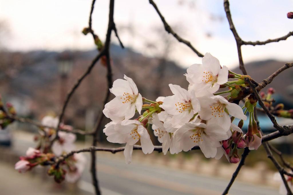 宝登山参道の桜画像