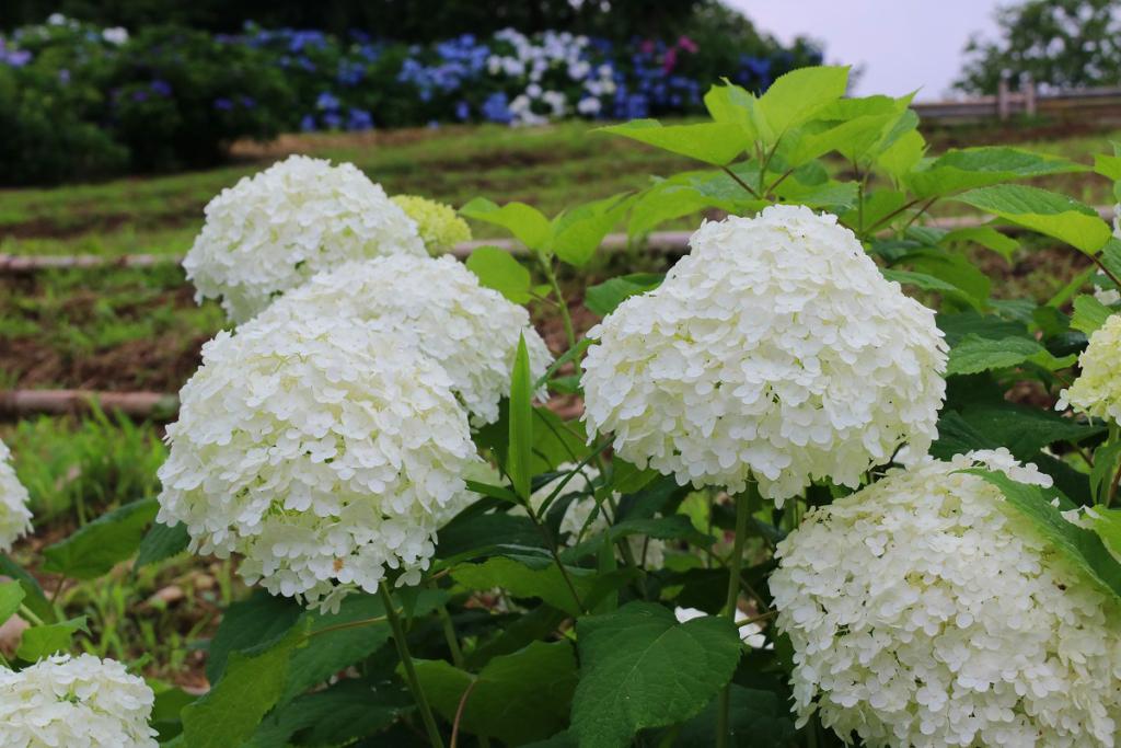 長瀞町花の里アナベルの画像