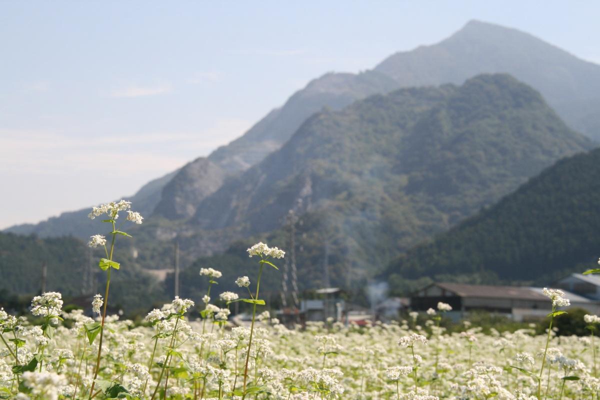 秩父市荒川  そばの花