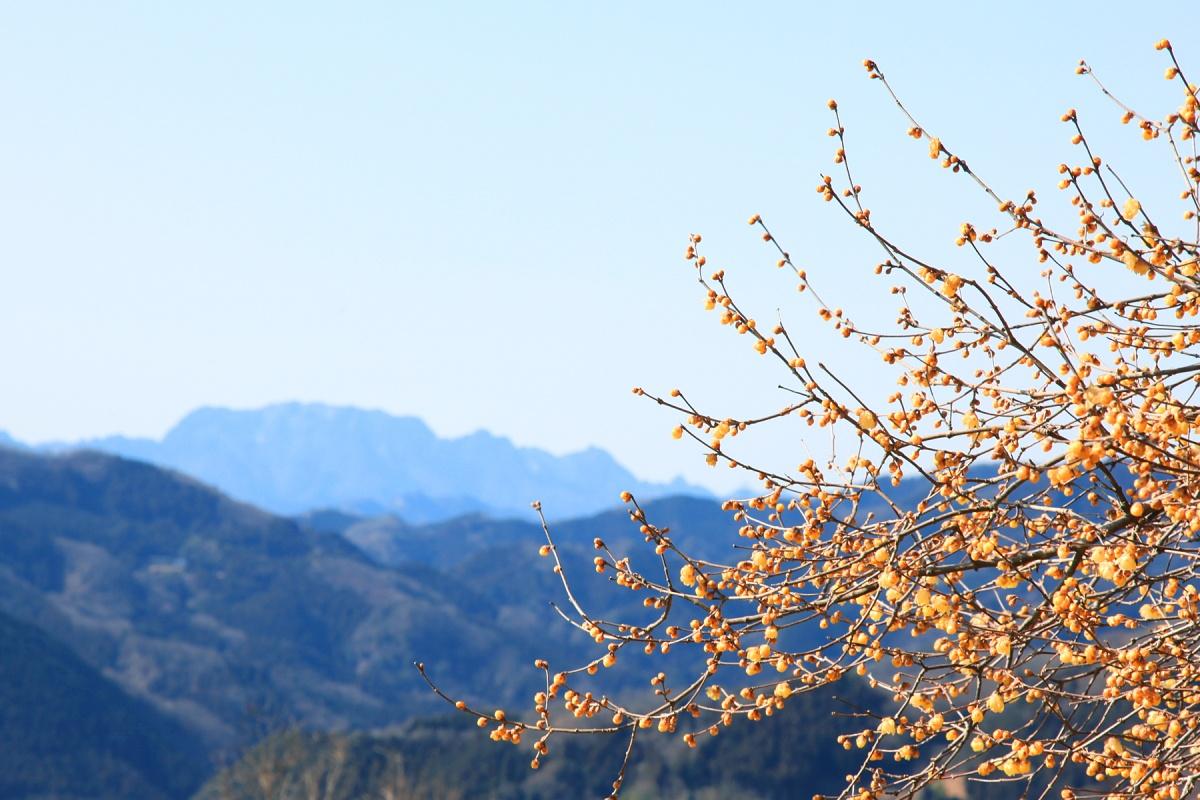 宝登山山頂のロウバイ