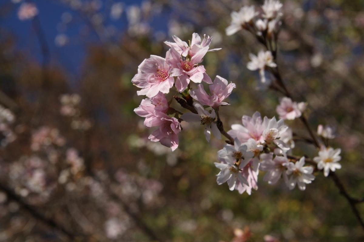 神川町 城峯山 冬桜