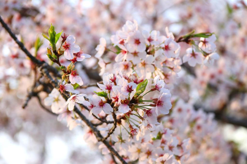 長瀞桜まつり日程変更