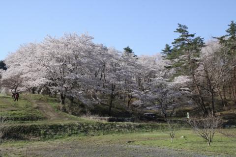 長瀞桜まつり2018の画像