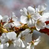 通り抜けの桜 04