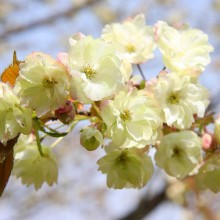 美の山桜・ウコン