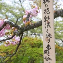 美の山桜まつり
