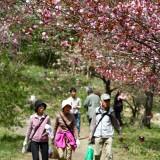 通り抜けの桜 01