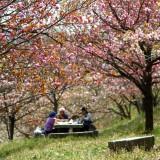 通り抜けの桜 03