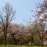 通り抜けの桜 02
