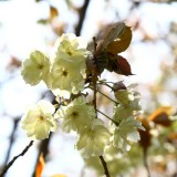 通り抜けの桜 06