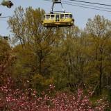 通り抜けの桜 05