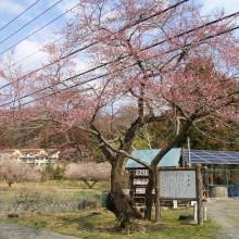 長瀞町大手の桜