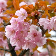 美の山公園・桜