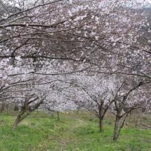 ちっちゃな桜のトンネル
