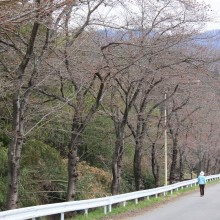 井戸の桜並木