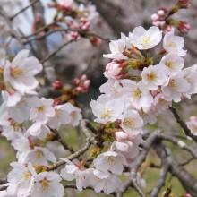 井戸桜並木