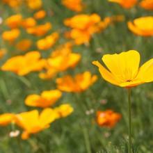 花の里ハナビシソウ